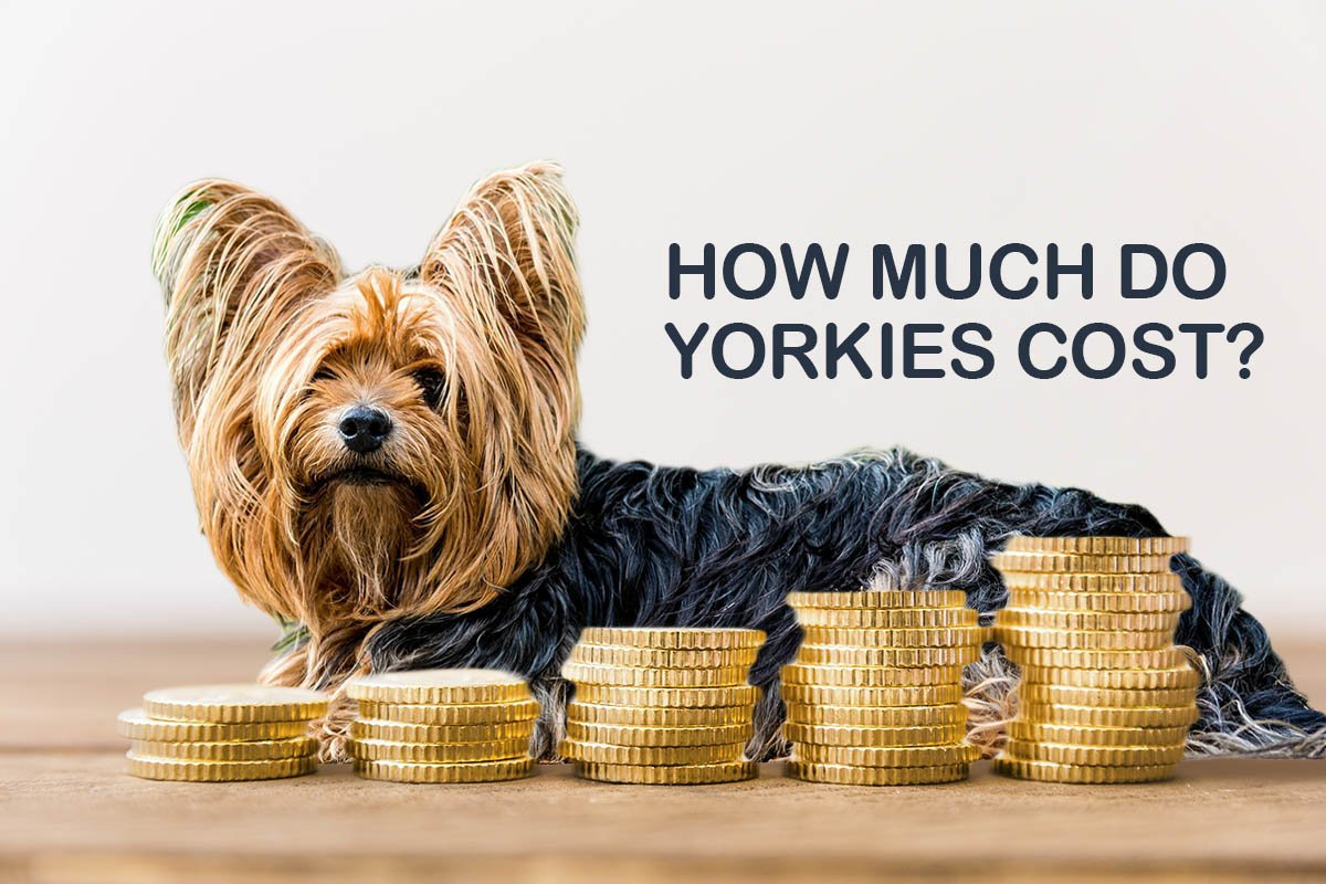 This Is How Much Yorkies Cost