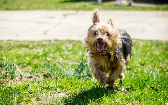 How Fast Can A Yorkie Run?