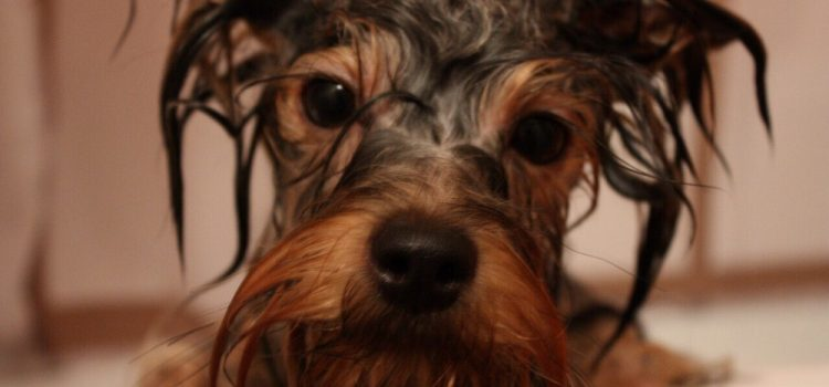 How To Get Rid of Fleas On A Yorkie?