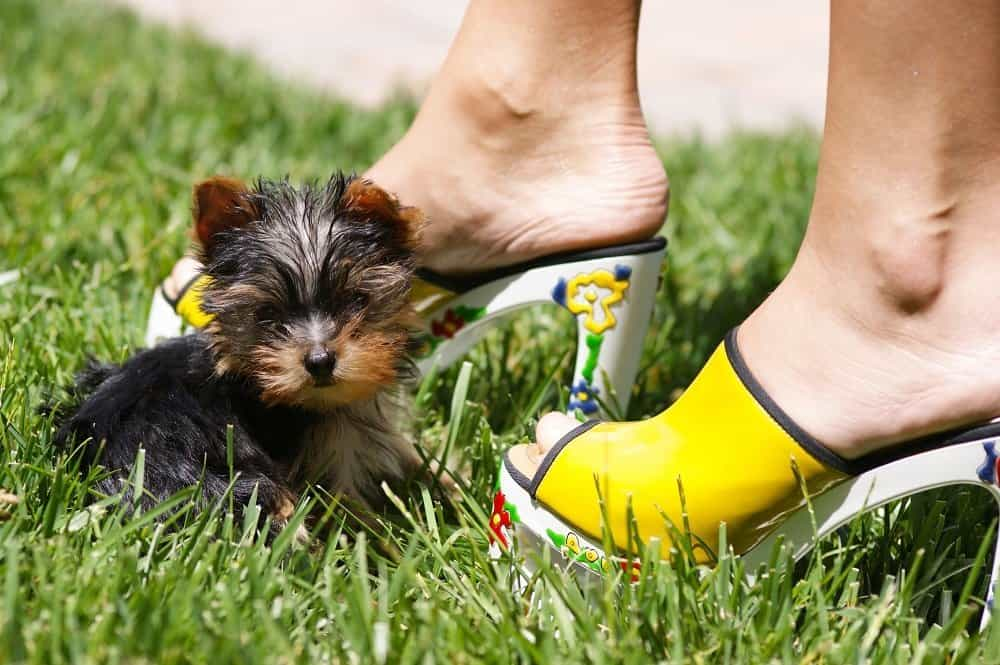 How To Train Your Yorkie To Stay In The Yard