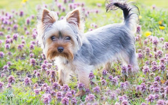 Why Does My Yorkie Eat Grass