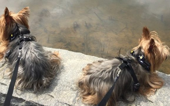 Are Boy Or Girl Yorkies Better