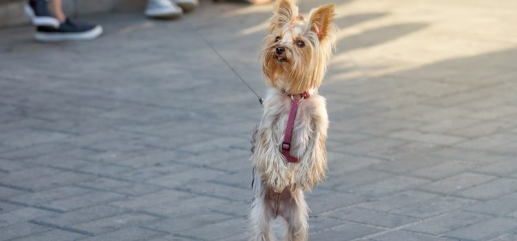 Are Yorkies Jumpers?