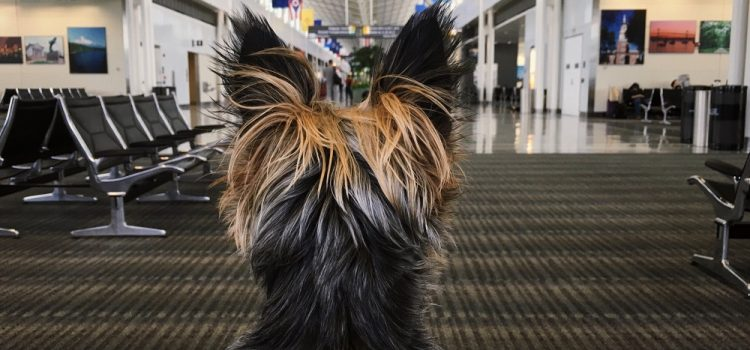 Can Yorkies Be Left Alone?