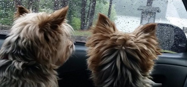 Yorkies In Pairs Or Being Alone | Yorkshire Terrier Socialization | Friendship