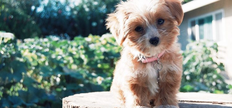 How To Train A Yorkie To Give Paw