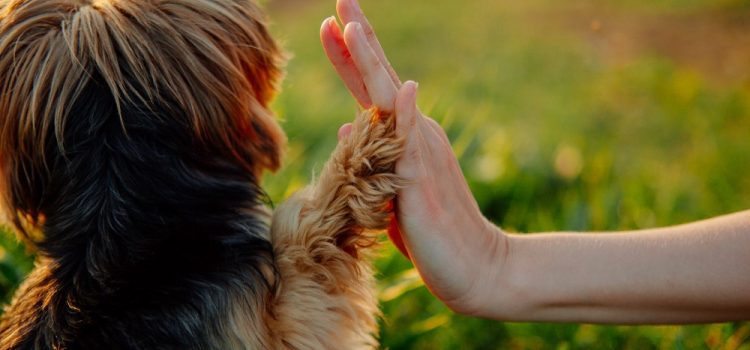 How To Train Yorkie With Clicker