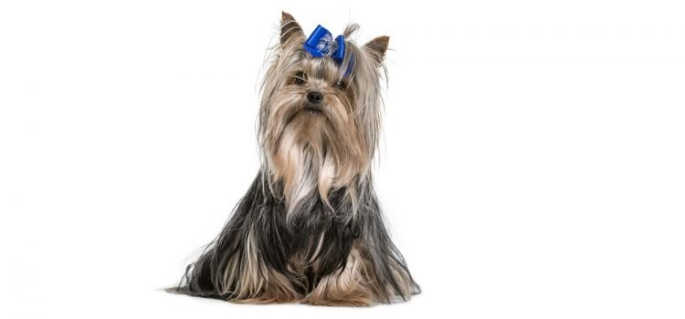 Is Coconut Oil Good For Yorkies?