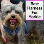 Best Harness For Yorkie