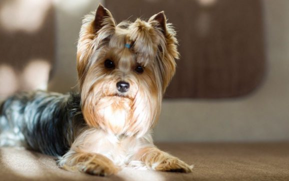 How Much Does Grooming A Yorkie Cost?