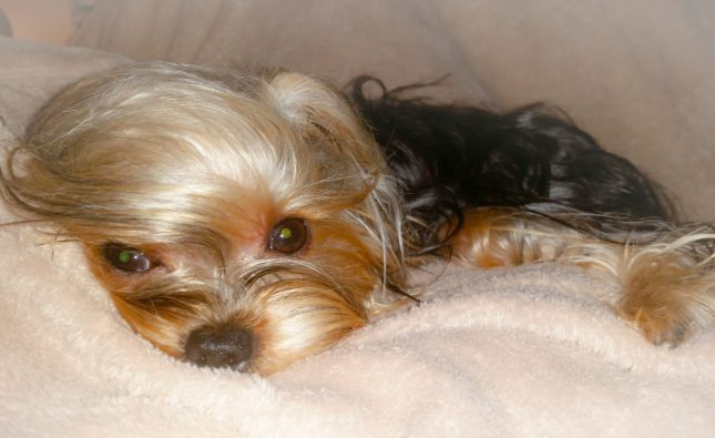 This Is The ODD Reason Yorkies Eye Water