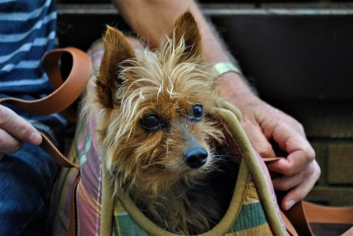 Reasons Why Having A Yorkie As An Emotional Support Dog Is A Good Choice